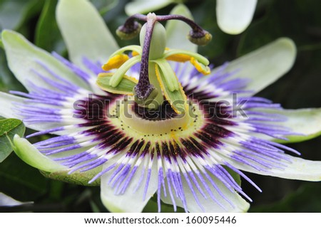 Tropical passion flower - stock photo