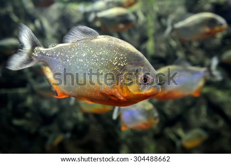 Tropical piranha fishes  in a natural environment - stock photo