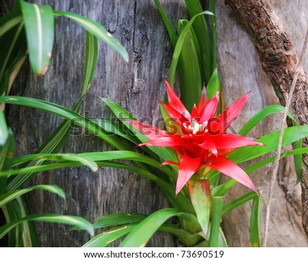 Tropical plant is flowering the large red flower on the large stem of old tree .