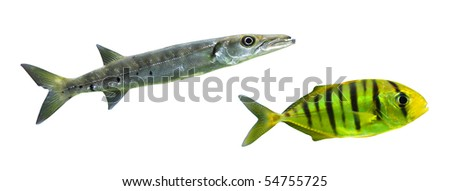 Tropical predatory fish - isolated on white background - stock photo