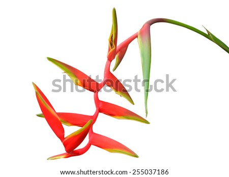 Tropical red Hanging Heliconia or Hanging Lobster Claw, isolated on a white background - stock photo