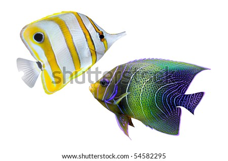 Tropical reef fish - isolated on white background - stock photo