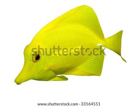 Tropical reef fish - Surgeonfish - isolated on white background - stock photo