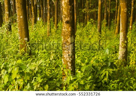 Hevea Brasiliensis Stock Images Royalty Free Images