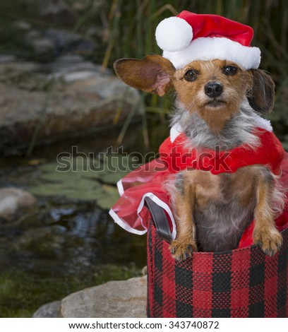 Tropical Scene of an adorable small mixed Breed Dog In a basket wearing a Santa suit and hat - stock photo