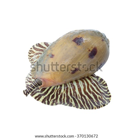 Tropical seashell:Bailer shell/Blotched melon shell/colorful shell/raw food,seafood - stock photo