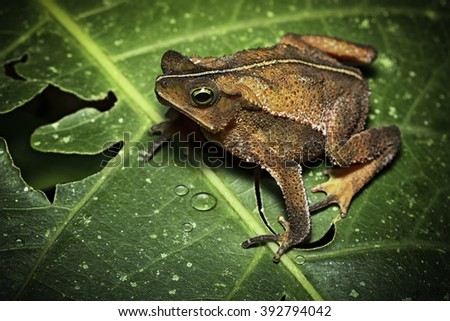 tropical toad from Amazon rain forest in Bolivia, Brazil Peru And Ecuador, Rhinella typhonius. A beautiful amphibian and frog of the Amazonian rainforest. - stock photo