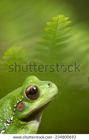 tropical tree frog between fern in the Amazon rain forest. Hypsiboas riojanus is an exotic tree frog living in the rain forest of Bolivia