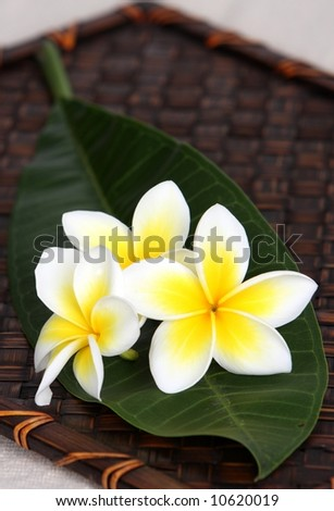 Tropical white and yellow frangiapani / plumeria flowers on leaf on bamboo woven matt