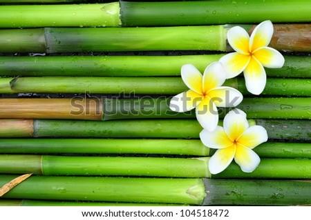 Tropical white frangipani on green bamboo - stock photo
