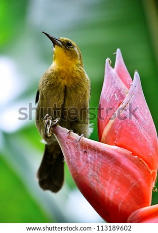 Tropical yellow bird is on the red flower.