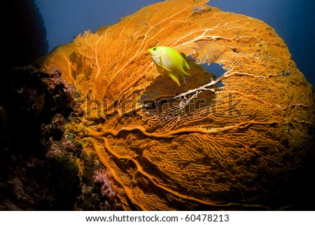 Tropical yellow  fish swimming through a sea fan hole - stock photo