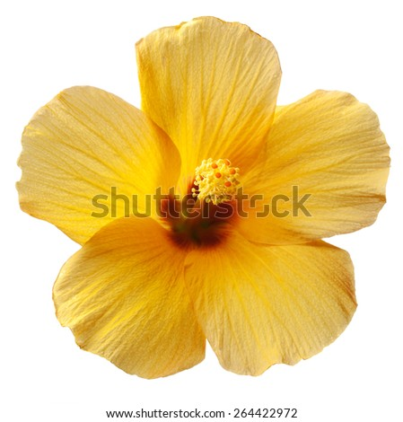 Tropical Yellow Hibiscus Flower on White Background - stock photo