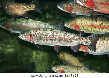 Trout fish in group - stock photo