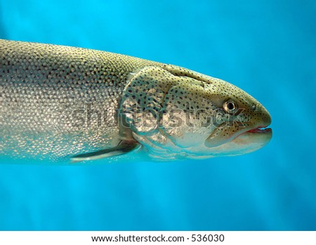 trout in blue water closeup