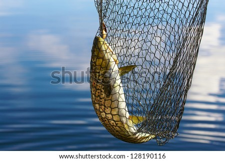 Trout in scoopnet, fishing from boat on lake Inari in Lapland (Finland). - stock photo