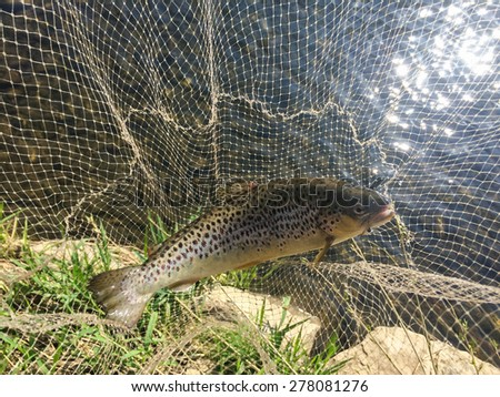 Trout. Trout fishing. Fishermen catch trout. - stock photo