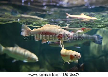 trout underwater - stock photo