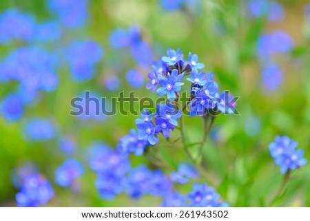 True blue flowers, summer background - stock photo