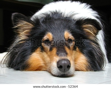 True eyes of a tri-color-collie - stock photo
