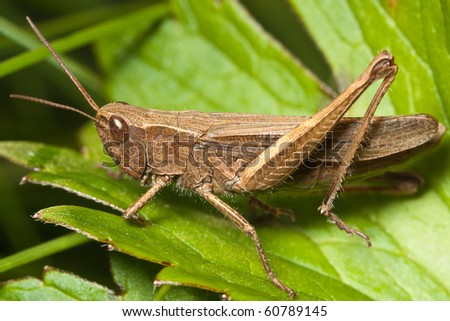 True macro of a grasshopper - stock photo