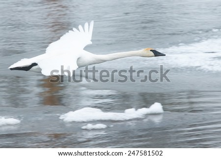 Trumpeter Swan in Flight Over Icy River - stock photo