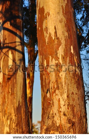 Trunk and Bark of Blue Gum - Eucalyptus Tree in South Africa