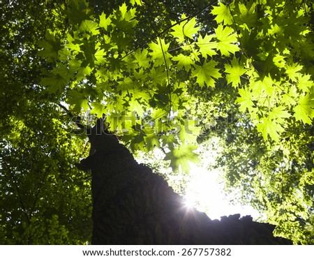 Trunk and branches of the maple tree against the shining sun. - stock photo