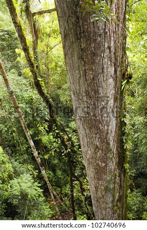 Trunk of a giant Ceibo tree (Ceiba pentandra) viewed from above from a canopy tower. In rainforest, Ecuador - stock photo