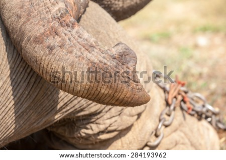 trunk of an elephant and a heavy chain on his leg
