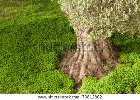 Trunk of old olive tree (Olea europaea) rising from dense cover of  clover on the ground. - stock photo