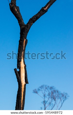 Trunk of small dead tree with peeling burnt bark, top of leafless tree behind against blue sky