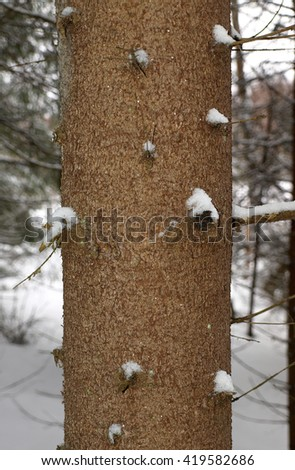 Trunk of spruce in winter close-up. On the twigs there is snow - stock photo