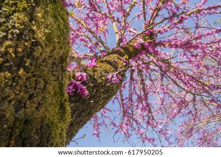 Trunk spring tree pink flowers redbud stock photo edit now trunk spring tree pink flowers redbud sky mightylinksfo