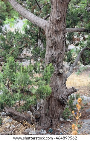 trunk with bark of juniperus communis the common juniper tree in Crimea mountains