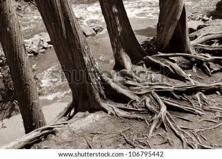 Trunks and Roots, sepia-toned - stock photo