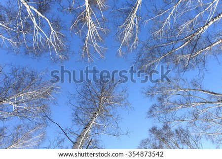 Trunks of birch trees against the blue sky in early spring - stock photo