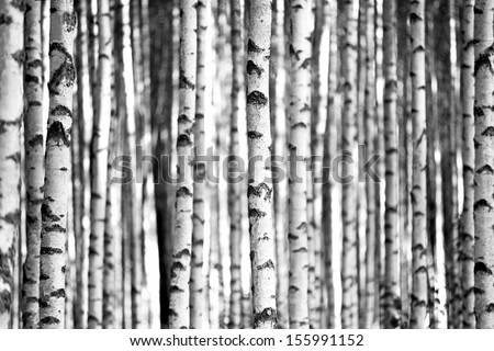 Trunks of birch trees in black and white - stock photo