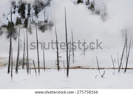 Trunks of burnt trees standing in a steaming snow-covered landscape. Yellowstone National Park. - stock photo