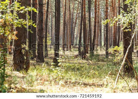 trunks of pine trees in the forest, the forest is illuminated by the sun's rays, the green grass grows