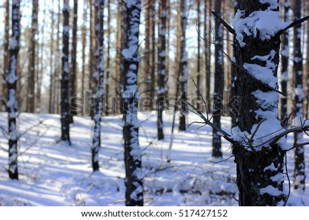 trunks of trees in a pine forest in winter