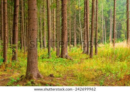 trunks with branches sticking out the tall pines in coniferous forest - stock photo