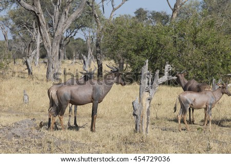 Tsessebe or Topi in the area of the Khawi River, Botswana Africa