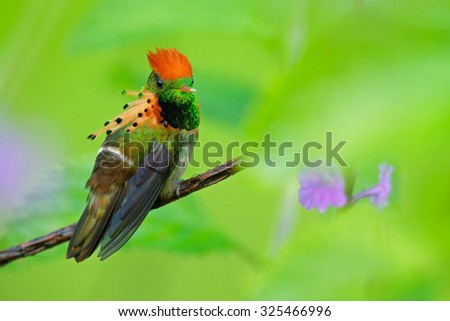 Tufted Coquette, colorful hummingbird with orange crest and collar in the green and violet flower habitat,  Trinidad - stock photo