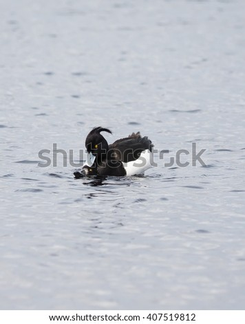 Tufted Duck breeds in water