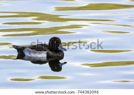 Tufted Duck swimming - Bedfont Lakes Country Park, London