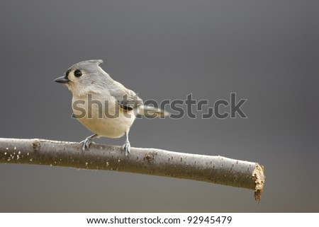 Tufted Titmouse (Baeolophus bicolor) on a branch in winter with a clean background. - stock photo