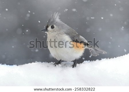 Tufted Titmouse (baeolophus bicolor) on a tree in a snow storm - stock photo