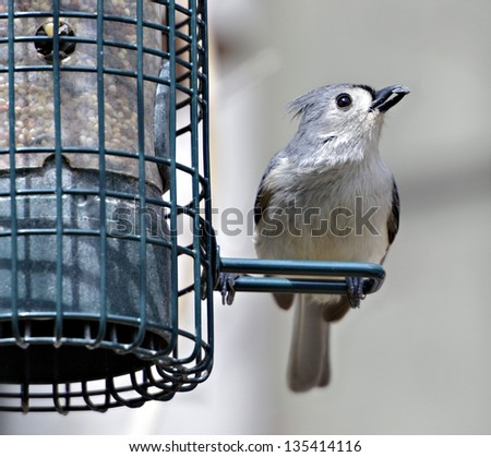 Tufted Titmouse on a bird feeder with a sunflower seed in it's beak. - stock photo