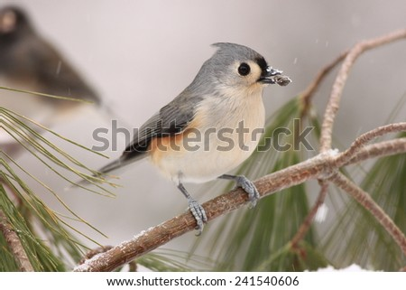 Tufted Titmouse on pine branches with snow on his beak  - stock photo